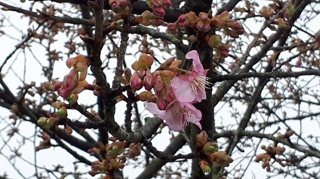 2/14【河津桜】が開花しました