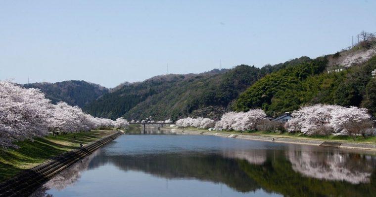 三刀屋河川敷公園周辺(ソメイヨシノ)