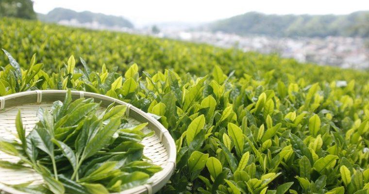 お茶ができるまでぐるっと見学とフレバリーティーづくり(煎茶&番茶)