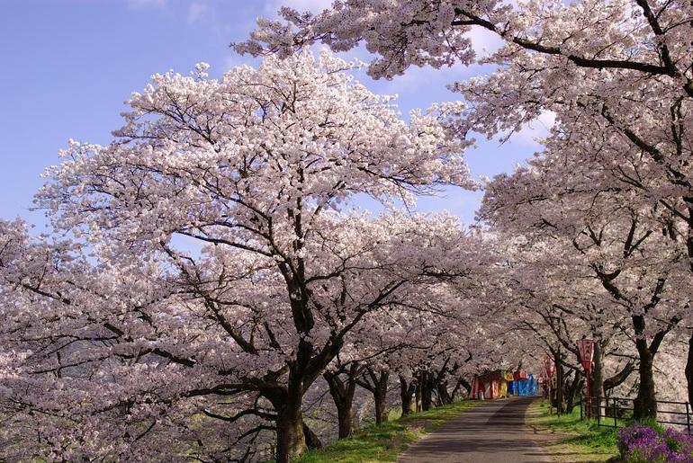 斐伊川堤防桜並木と松江城桜めぐり
