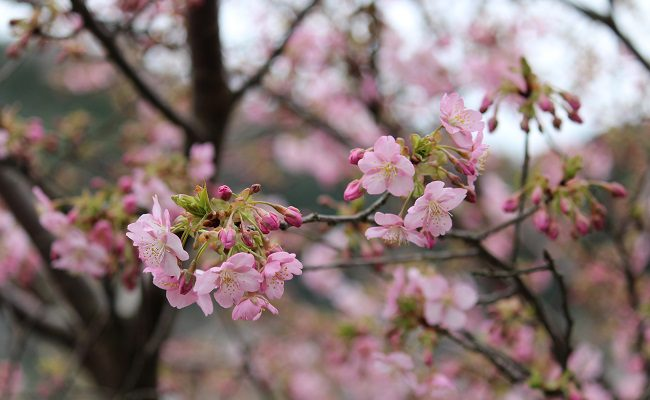 ⭐️今日の河津桜⭐️