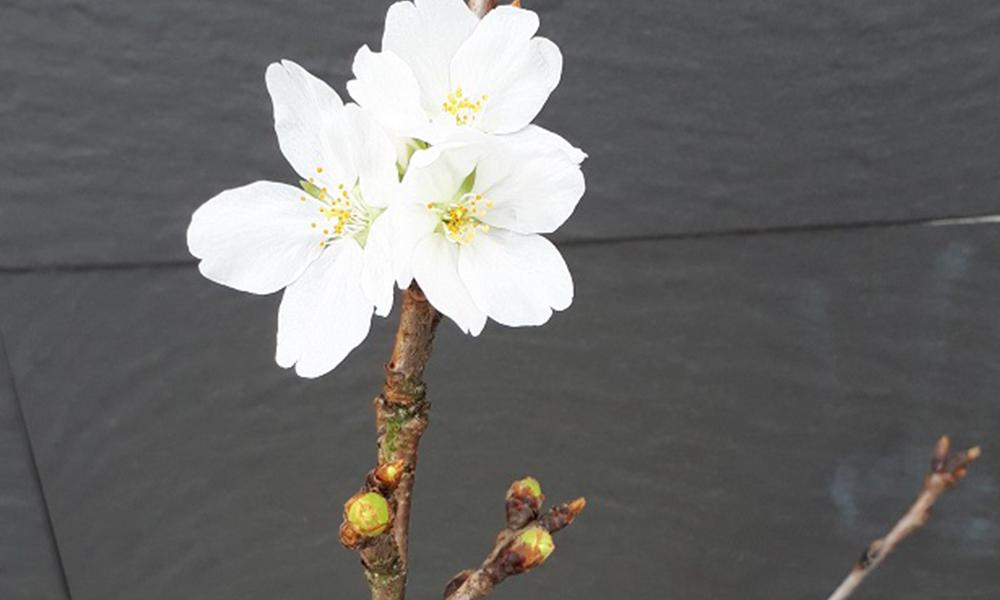⭐️協会の『ソメイヨシノ』は開花しました⭐️