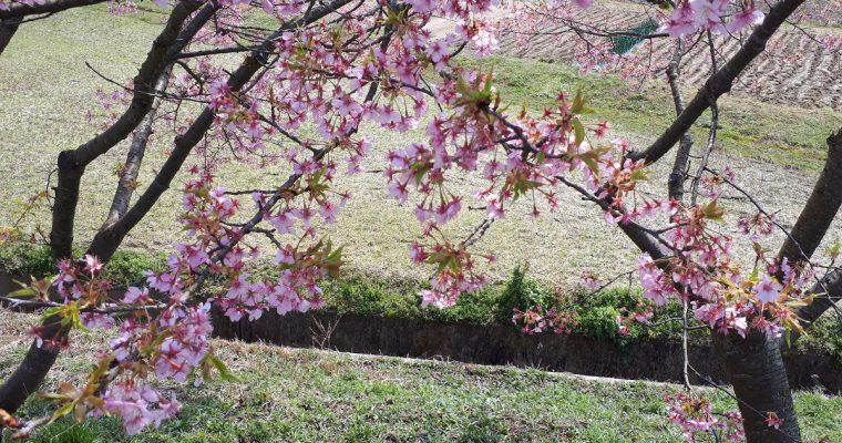 きょうの桜のようす(2020.3.18)