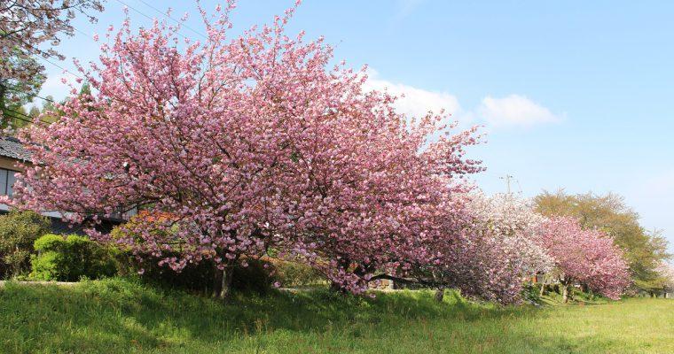 三刀屋川河川敷の桜が紹介されています
