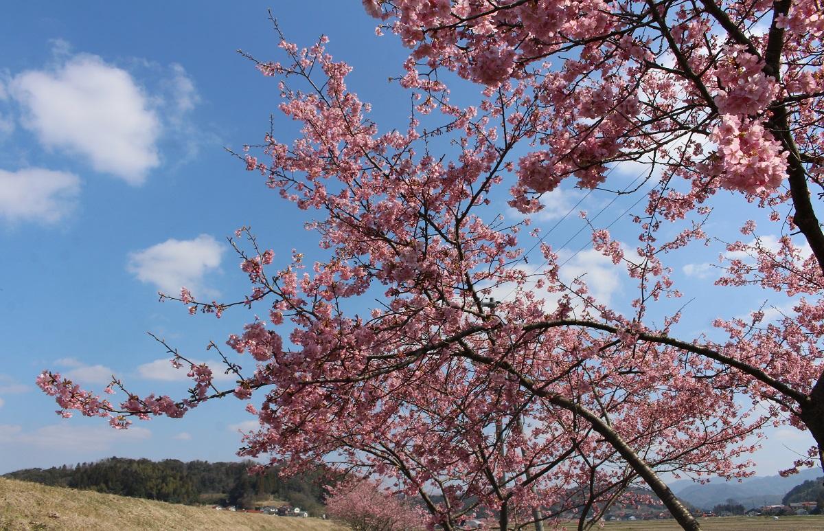 きょうの河津桜のようす