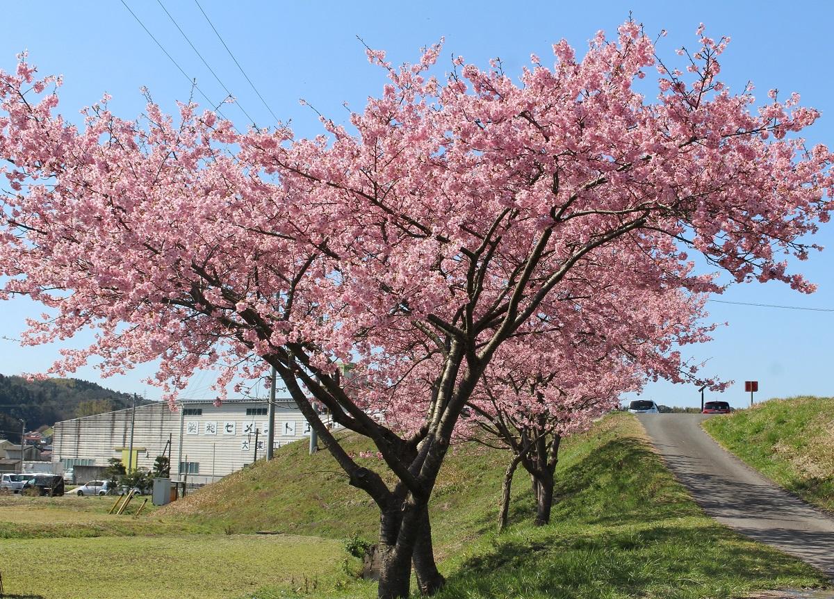 今日の桜のようす(2020.3.12)