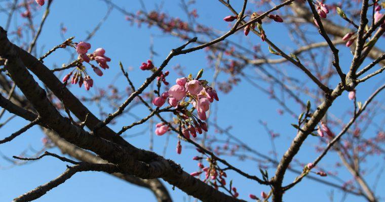 斐伊川堤防桜並木が紹介されています