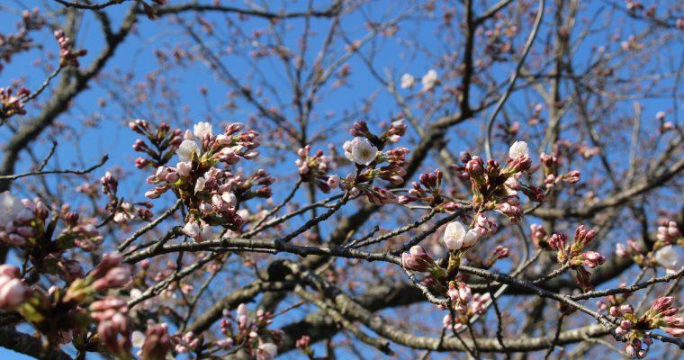 きょうの桜のようす(2020.3.25)