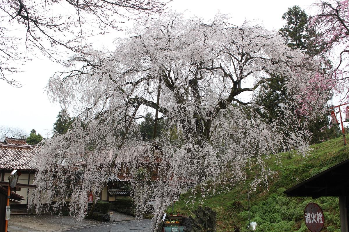 きょうの桜のようす(2020.3.27)※3.28追記