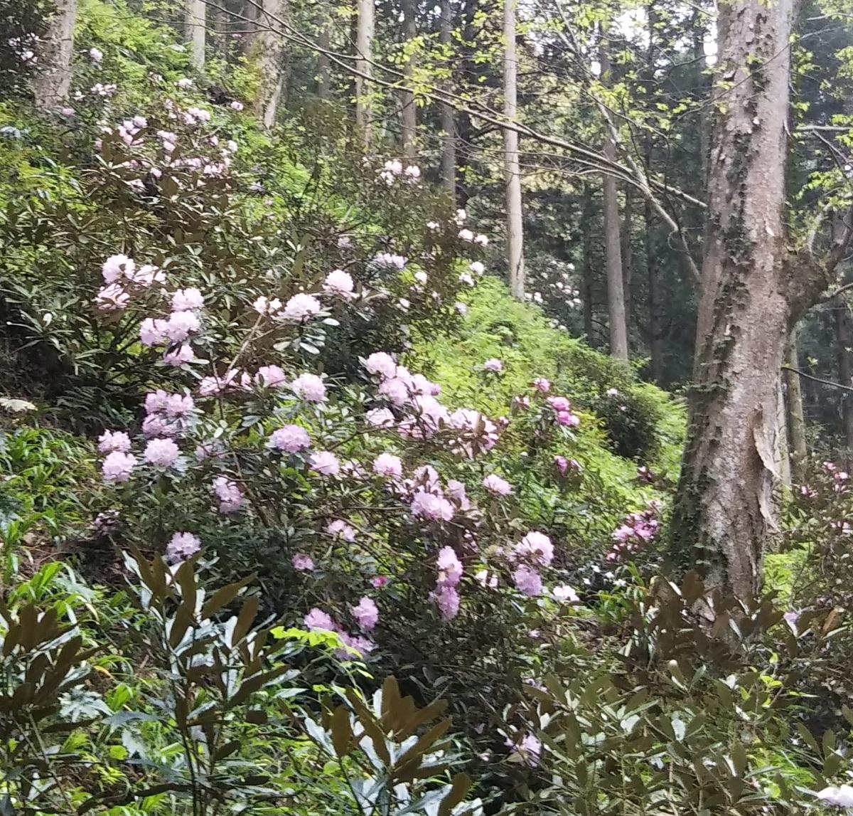 シャクナゲがキレイに咲いています ~石照庭園~