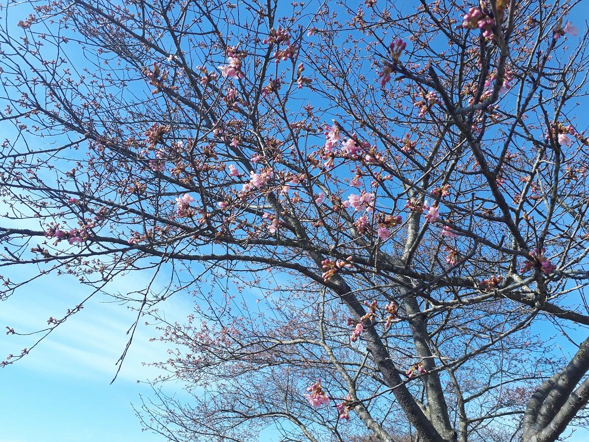 きょうの河津桜のようす(2021.2.25)