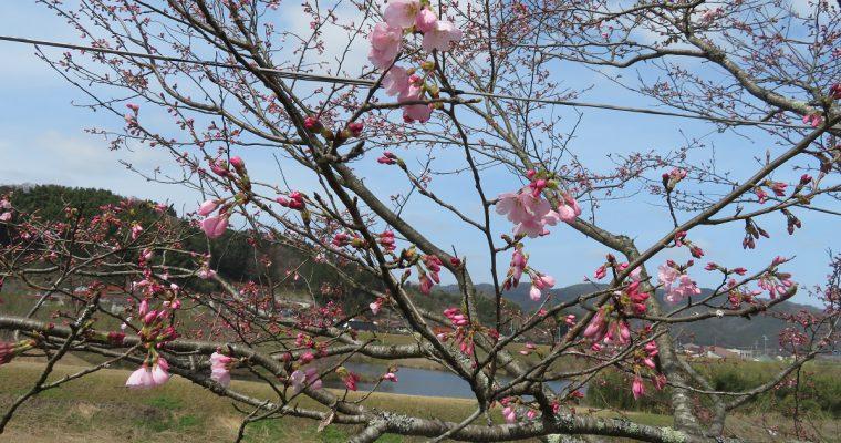 斐伊川堤防桜並木では