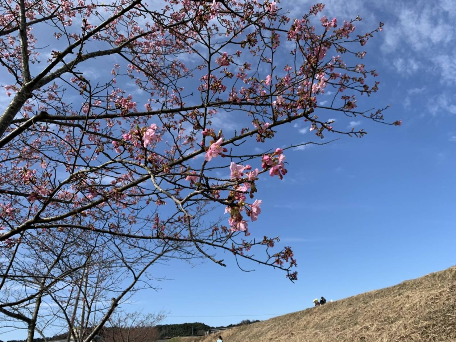 きょうの河津桜のようす(2021.3.1)