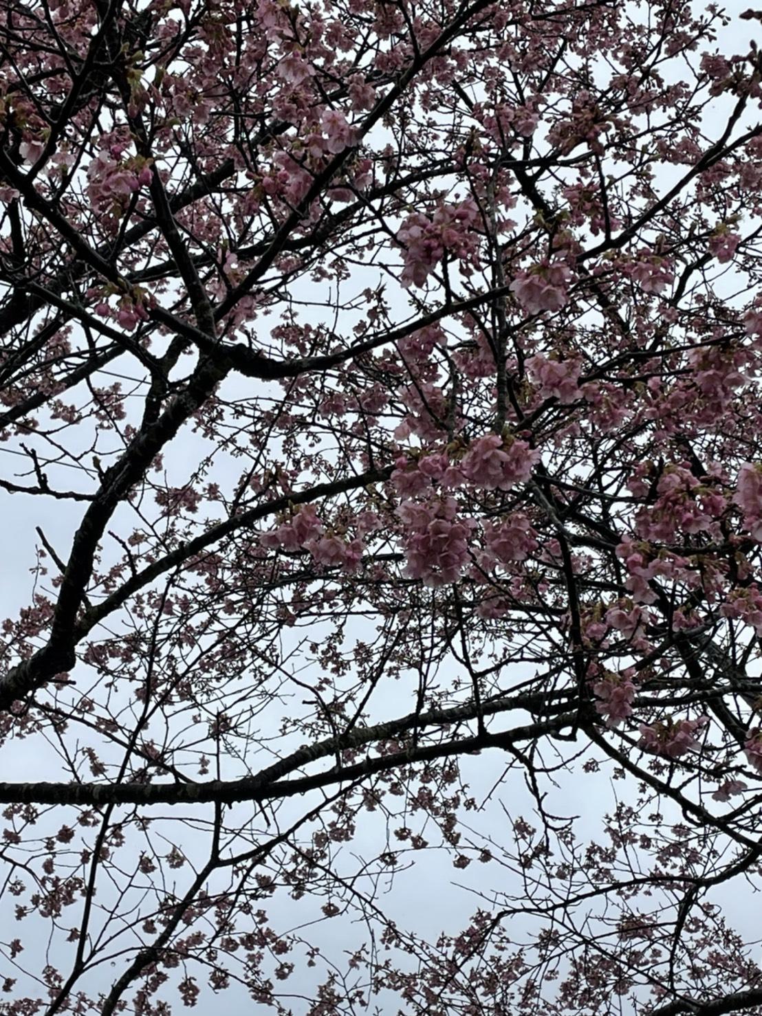 きょうの河津桜のようす(2021.3.5)