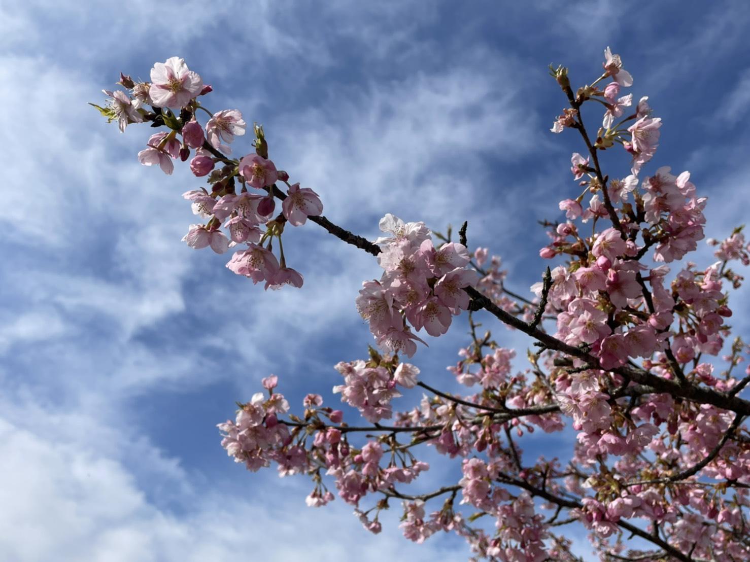 きょうの河津桜のようす(2021.3.11)