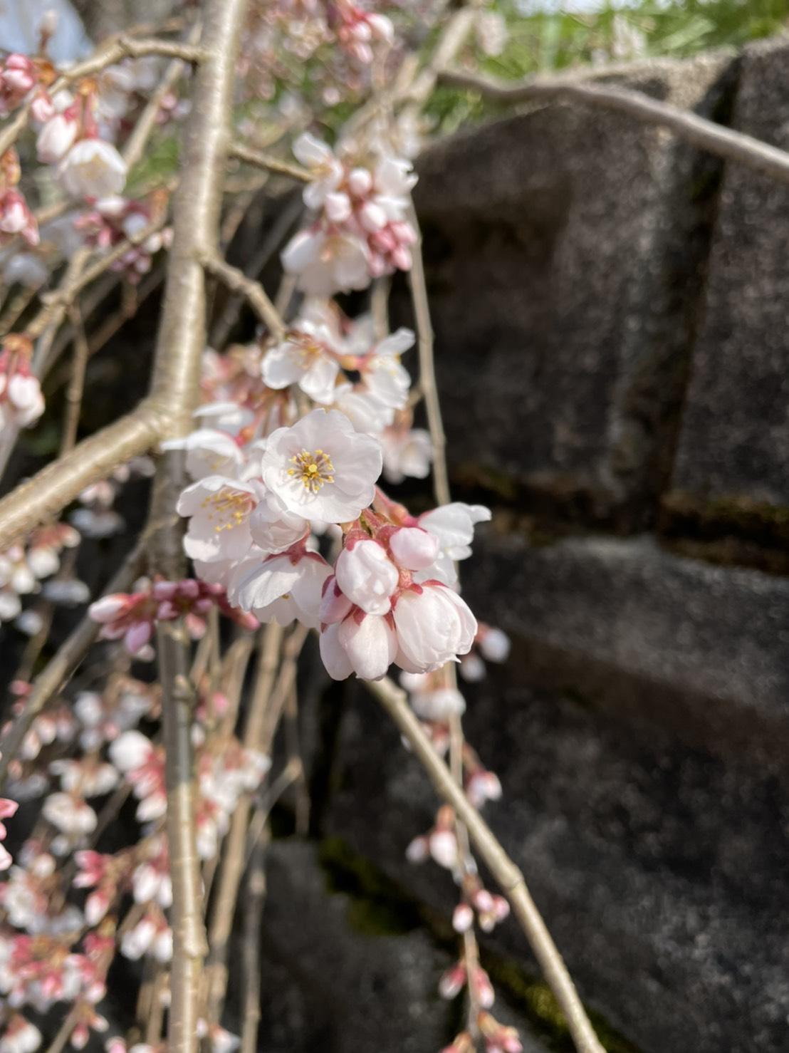 段部のしだれ桜が開花しました!(2021.3.15)