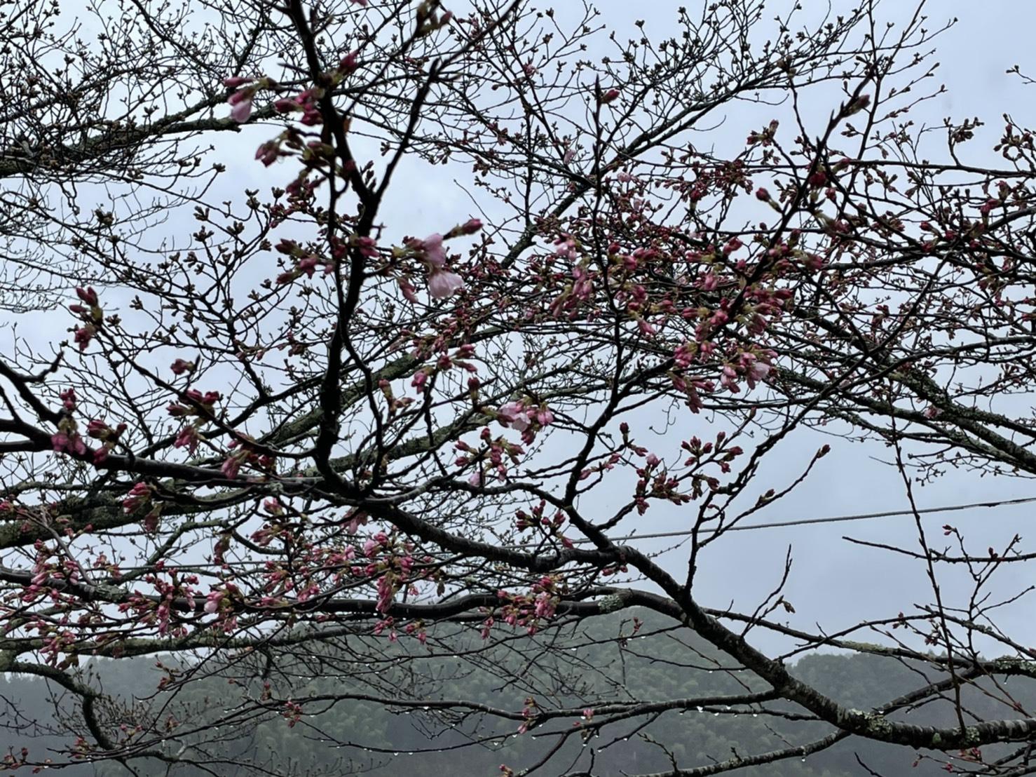 斐伊川堤防桜並木のソメイヨシノが開花しました(2021.3.16)