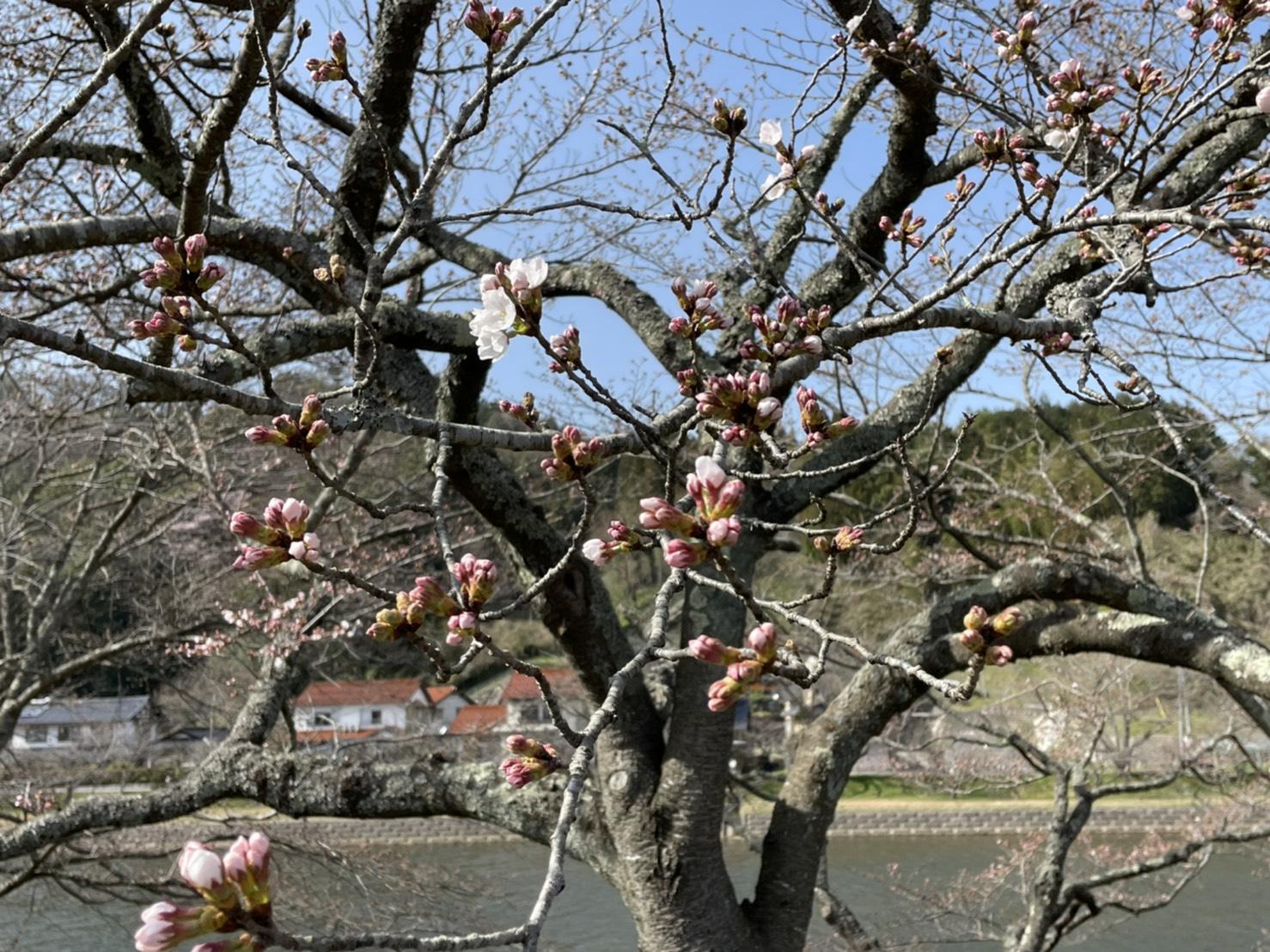 三刀屋川河川敷のソメイヨシノが開花しました(2021.3.17)