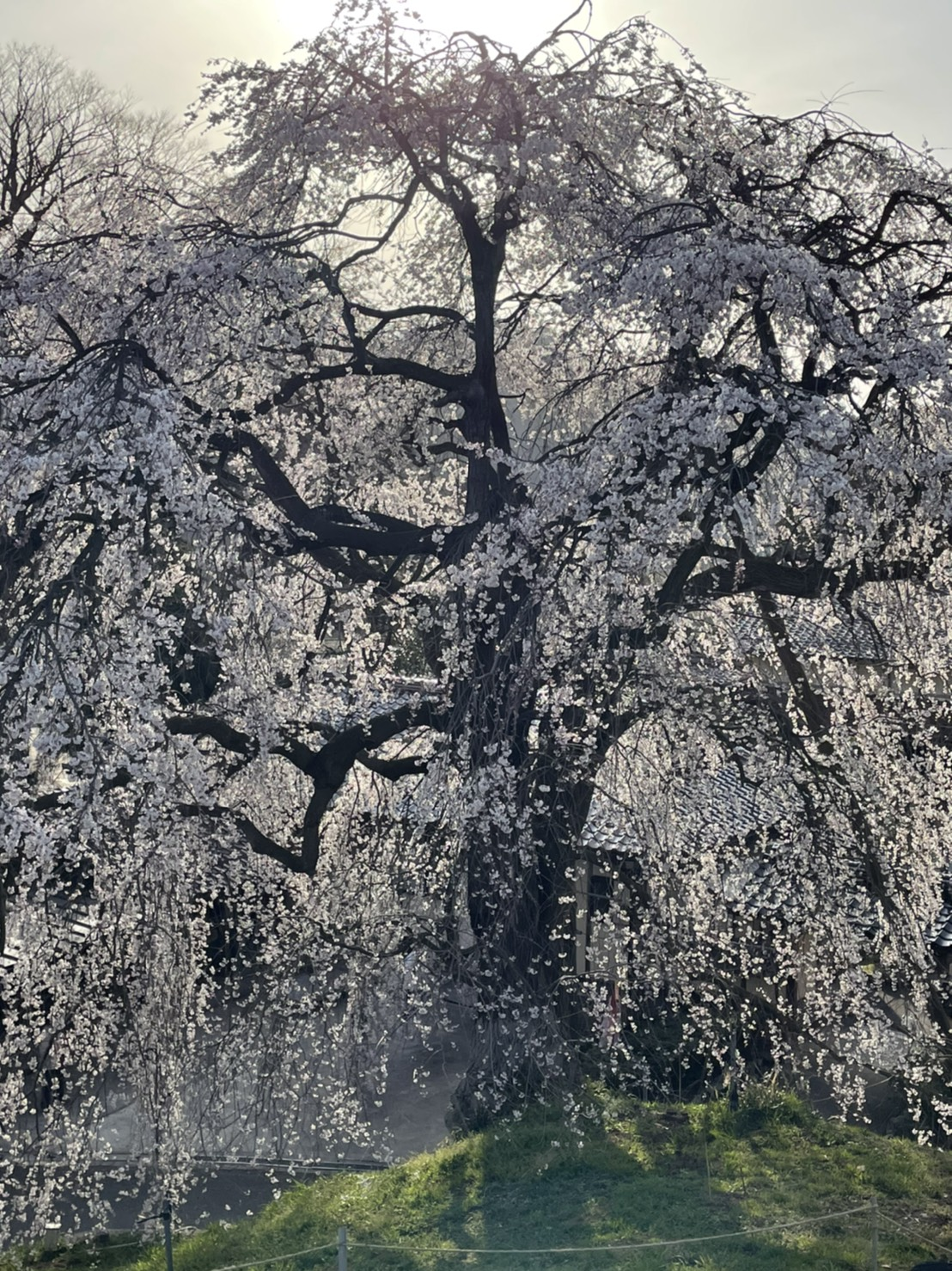きょうの桜のようす(2021.3.19)