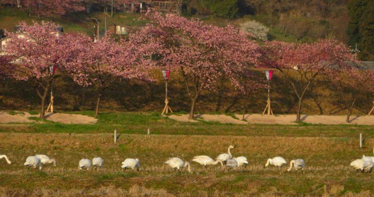 桜と白鳥の組み合わせ