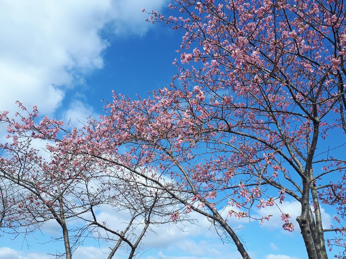 きょうの桜のようす(2021.3.3)