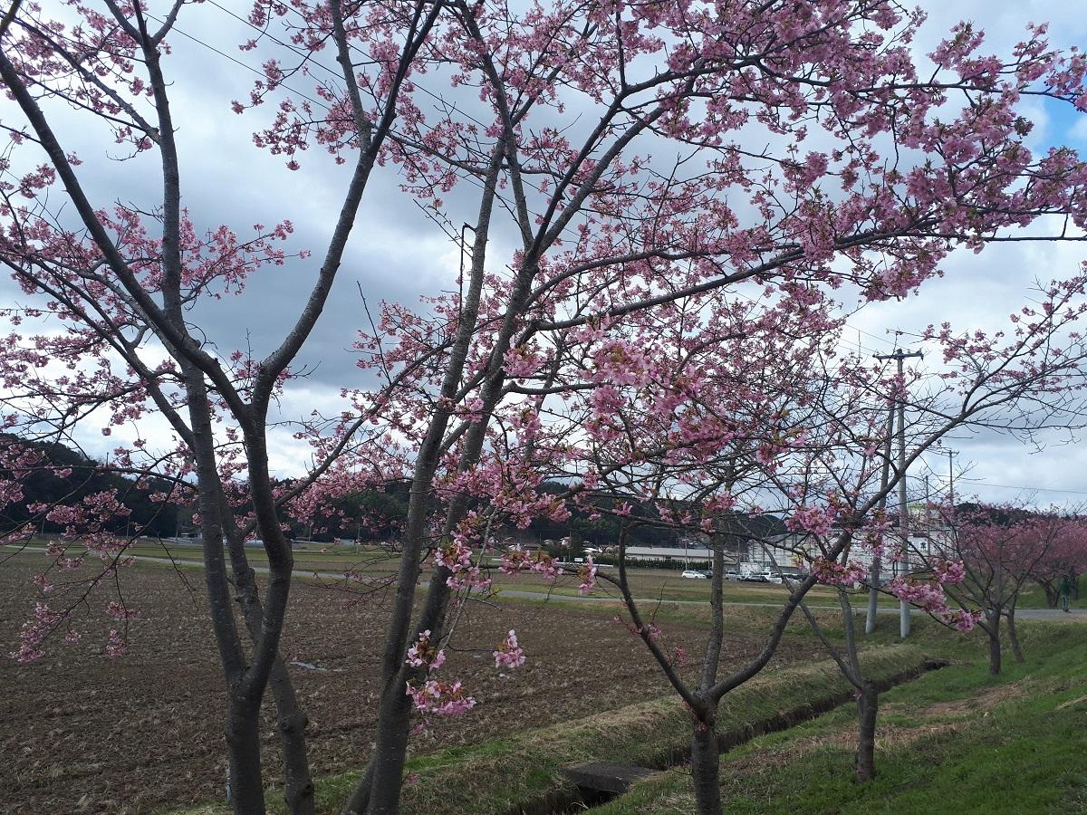 きょうの河津桜のようす(2021.3.8)