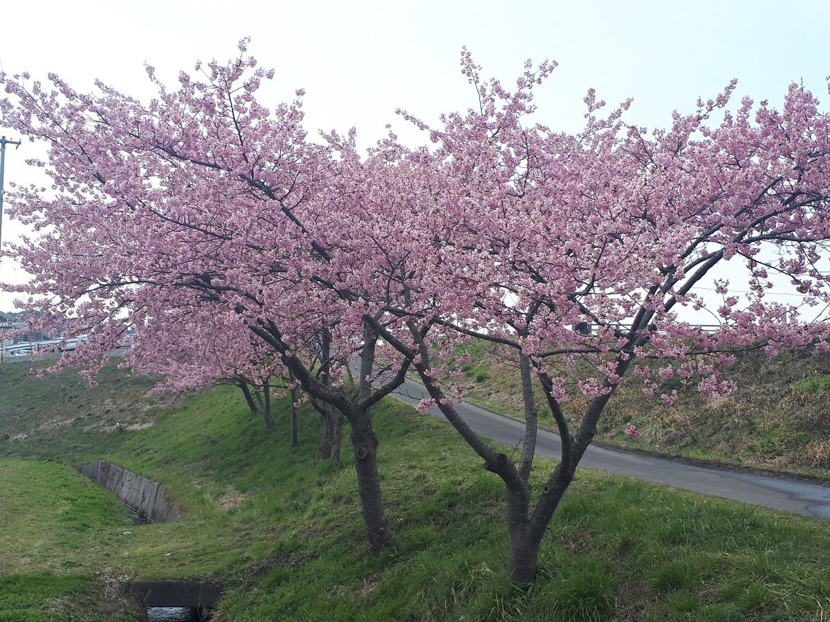 きょうの桜のようす(2021.3.15)