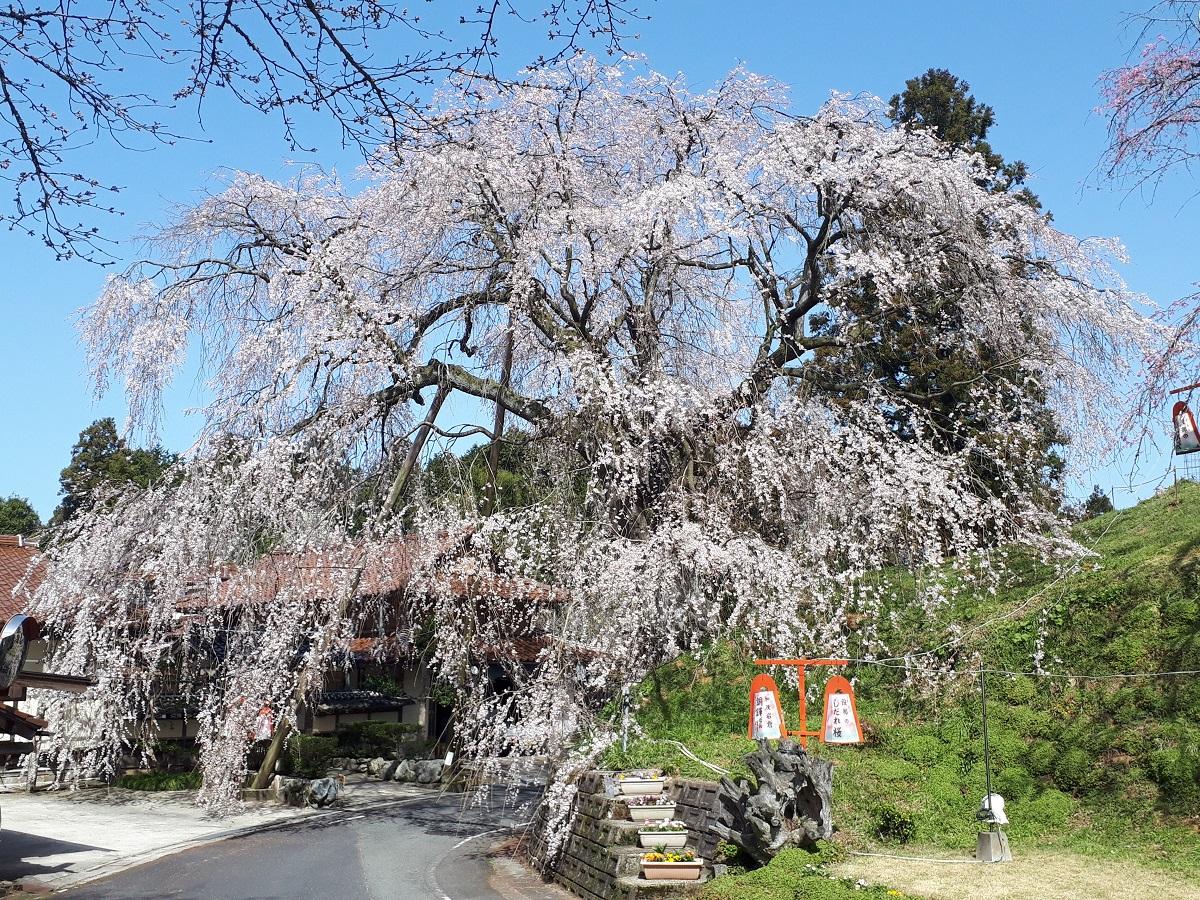 きょうの桜のようす(2021.3.18)