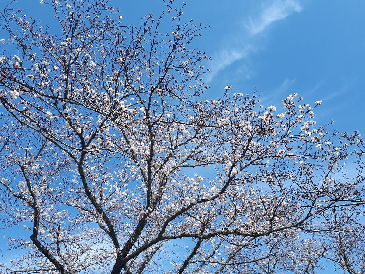 きょうの桜のようす(2021.3.24)