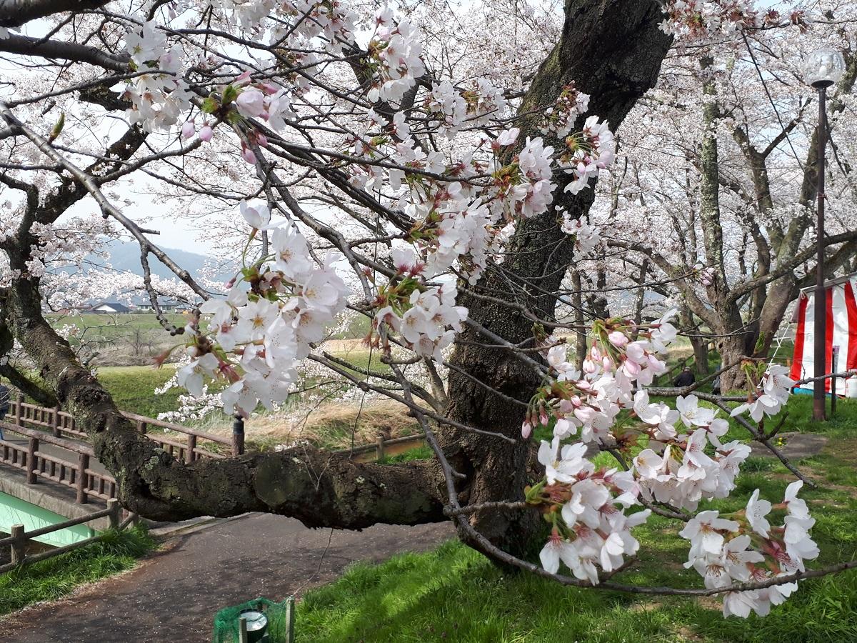 きょうの桜のようす(2021.3.29)